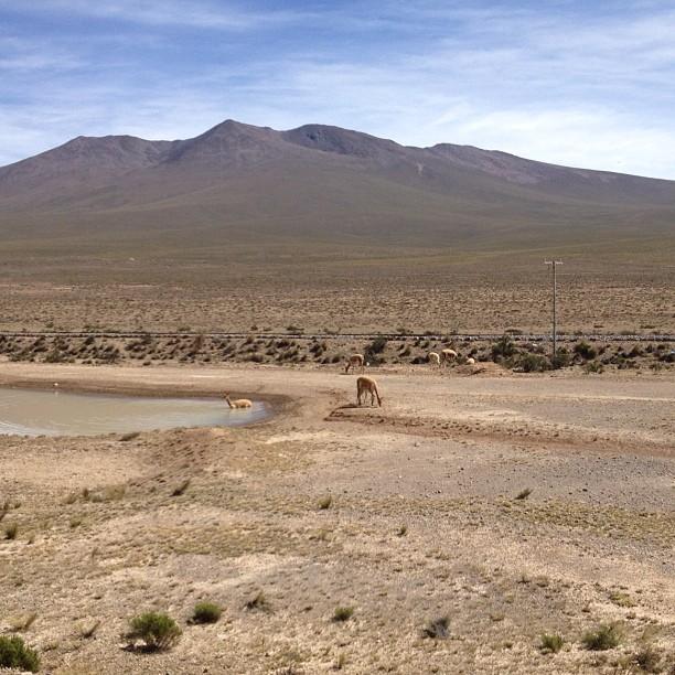 vigognes altiplano