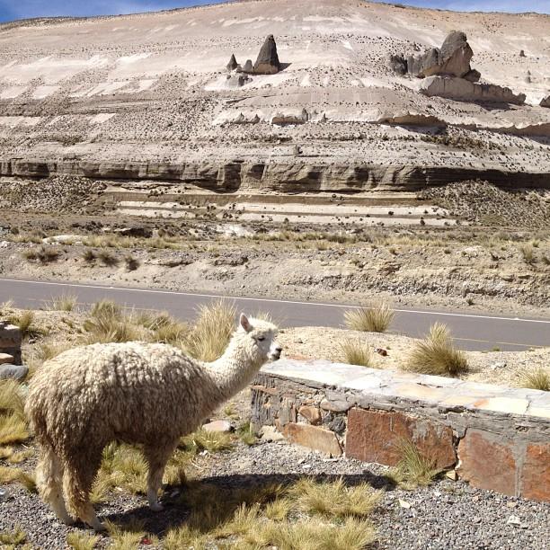 alpaga altiplano