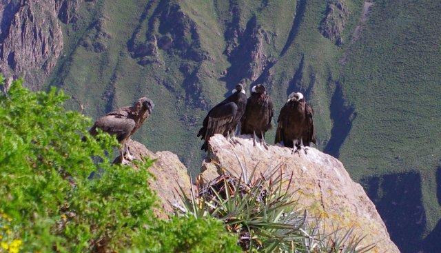 condor canyon colca croix