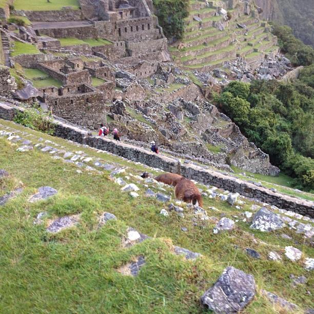 Machu Pichu lamas