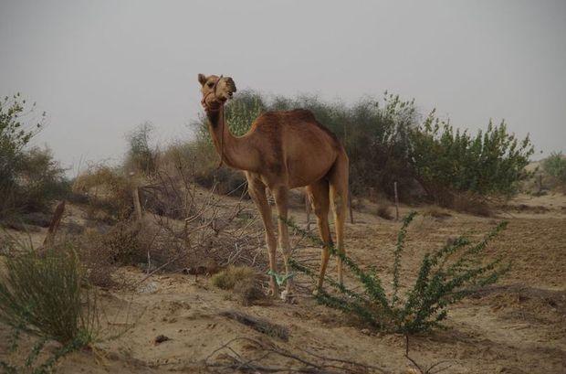 2014-03-11 Inde Jaisalmer Camels Chameaux