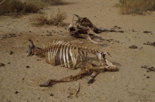 2014-03-11 Inde Jaisalmer Carcasses