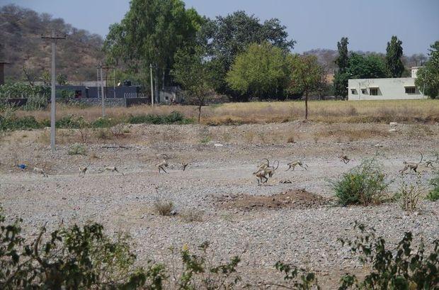 2014-03-13 Inde Ranakpur Langurs sacrés
