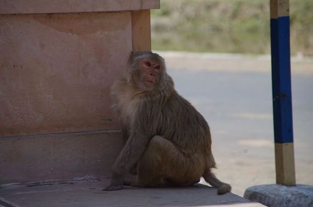 2014-03-13 Inde Temple Ranakpur macaques rhesus