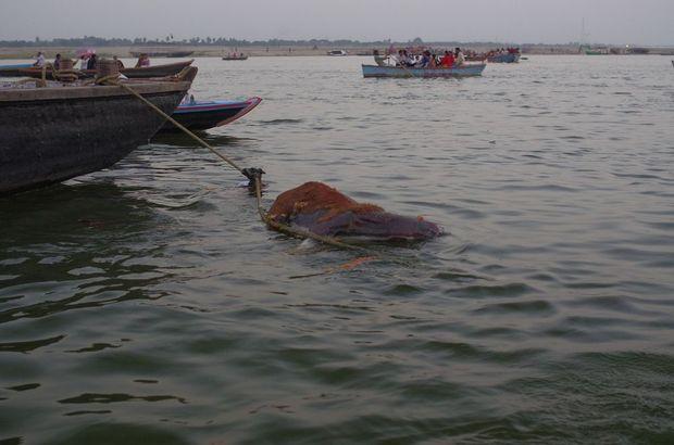 2014-03-21 Inde Varanasi Vache Decomposition