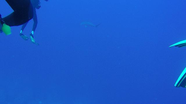 Daedalus Reef Hammerhead Sharks