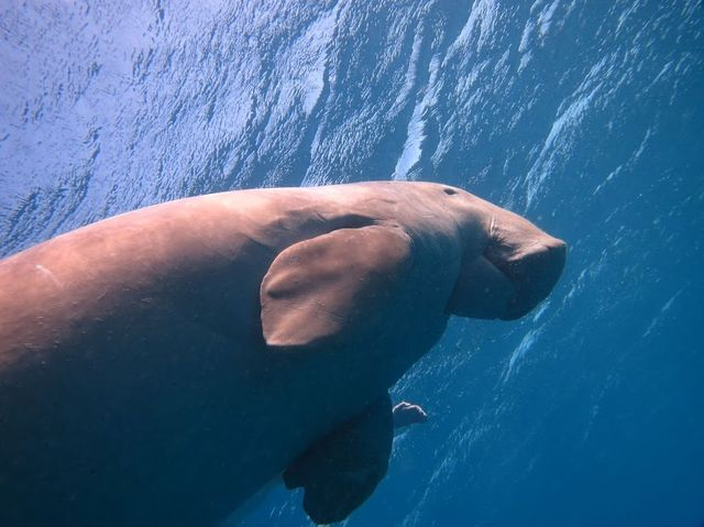 2014-11-06 Egypte Dugong Marsa Shoona Kebir