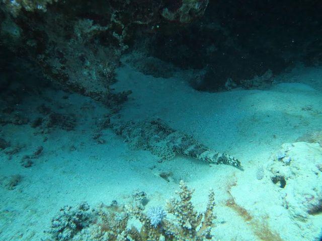 2014-11-10 Egypte Plongee Marsa Murena Crocodile fish