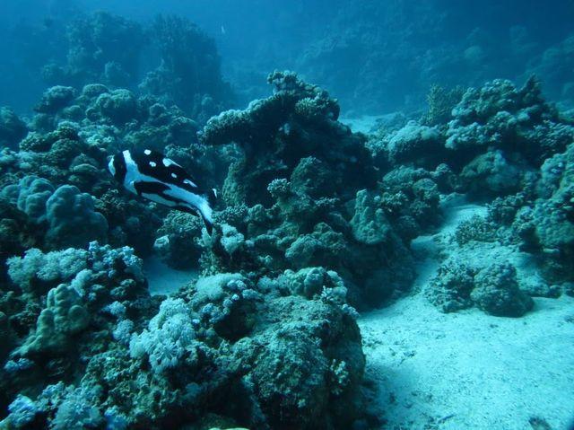 2014-11-10 Egypte Plongee Marsa Murena Black and white snapper juvenile