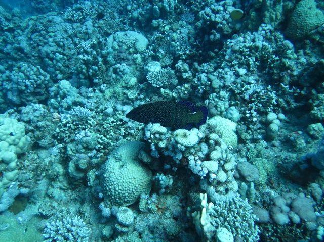 2014-11-10 Egypte Plongee Marsa Murena mérou céleste