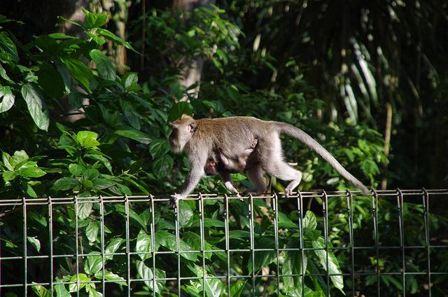 2015-05-14 Bali Ubud Monkey Forest