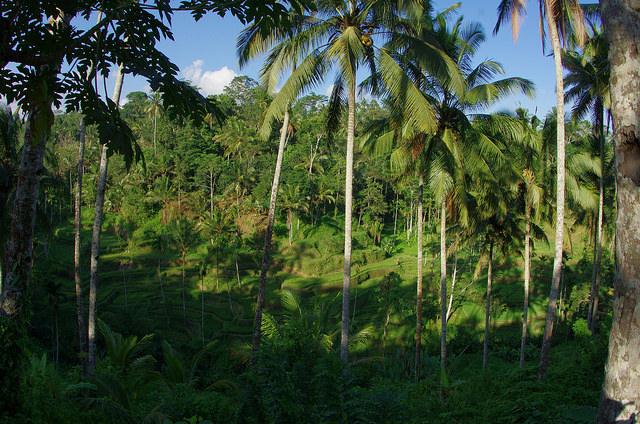 2015-05-15 Bali Tegalalang Rice Fields