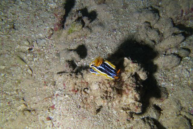 2015-09-21 Croisière St-John 219 Dangerous Reef chromodoris magnifica