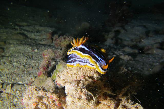 2015-09-21 Croisière St-John 221 Dangerous Reef chromodoris magnifica