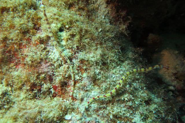 2015-09-23 Croisière St-John 029 Um Kararim Syngnathes Corythoichthys flavofasciatus