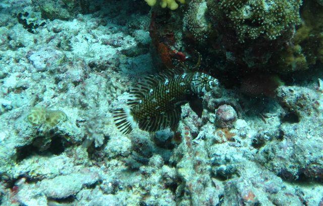 2015-09-23 Croisière St-John 073 Um Kararim Novaculichthys taeniourus