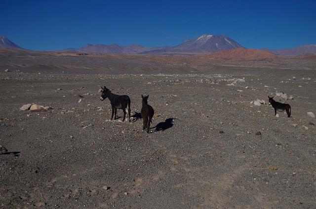 Jour 7 Chili Anes Atacama